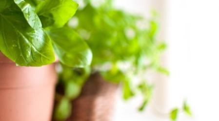 צמח הסמבוק